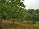 느티나무 R25점 밭정리 관계로 급처분 ..