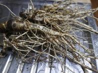 방풍뿌리로 담금주와 효능
