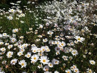 구절초 꽃