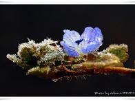 봄 까치꽃