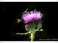 엉겅퀴 꽃