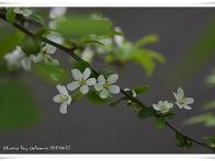 애기 사과 꽃