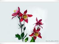 매발톱 꽃
