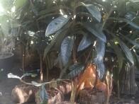 제피나무, 비파, 배롱나무