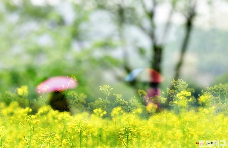 [포토친구] 유채꽃밭에서