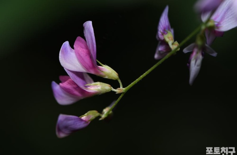 [포토친구] 조록싸리 꽃