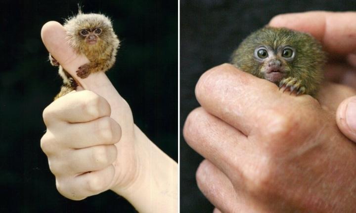 세상에서 가장 작은 원숭이