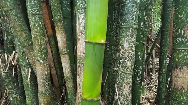 코로나 덕을 본 대나무