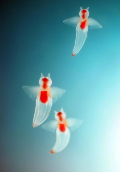 바다의 천사라고 불린다는 클리오네 사진 - 꾸르