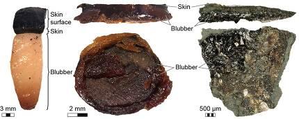 겉피부와 속피부, 그 밑의 지방층 단면. 왼쪽이 현생 돌고래이고 오른쪽이 어룡 화석이다. 요한 린그렌, 마틴 야렌마르크 제공.