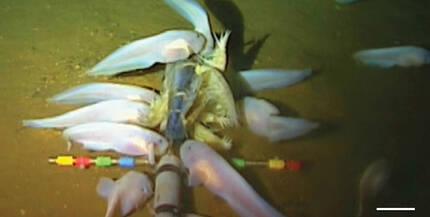 미국 워싱턴대 연구진이 마리아나해구에서 바다 밑으로 내려보낸 무인탐사기와 미끼에 마리아나 스네일피시가 모여든 모습. 아래 두 장의 사진은 연구진이 채집해 바다 위로 건져 올린 마리아나 스네일피시와 엑스레이로 촬영한 모습. 워싱턴대 제공