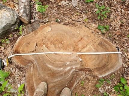 잘린 느티나무 잘린 느티나무의 폭은 1.2m, 둘레는 3.7m이다. [독자 제공. 재판매 및 DB 금지]