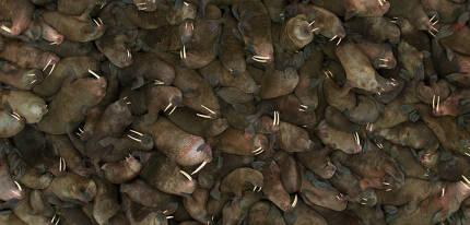 지구 온난화로 유빙이 감소해 해안가에 몰려든 바다코끼리의 모습 [자료: 넷플릭스 다큐멘터리 '우리의 지구']