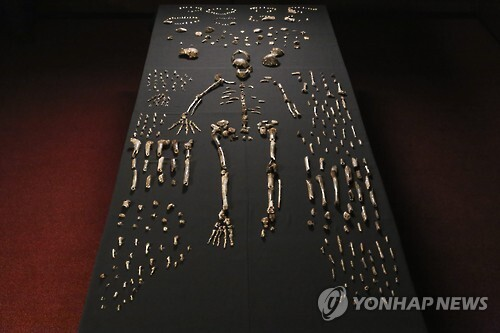 남아프리카공화국 비트바테르스란트대학교 리 로저스 교수가 이끄는 팀이 2013년 남아공 동굴에서 발견한 '호모 날레디' 유골 화석. 사진은 로저스 교수 팀의 15명의 것으로 추정되는 1천700여 개의 뼈 조각과 치아 등을 정리 복원한 모습. [EPA=연합뉴스 자료사진]