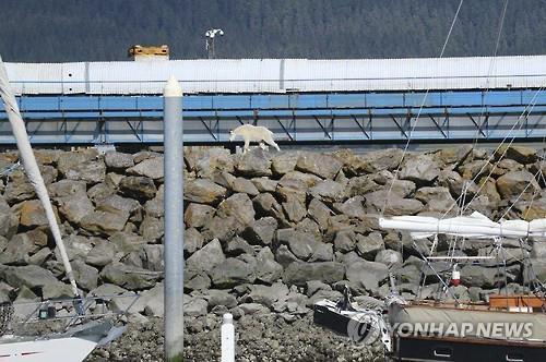 미국 알래스카 주 남단 항구도시 스워드의 제방에 나타난 산양 (AP=연합뉴스)