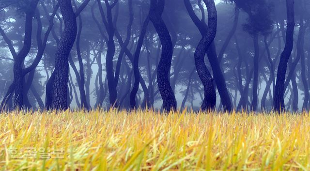 황금들판 옆에 안개 낀 임한리 솔숲. 보은=최흥수기자 choissoo@hankookilbo.com