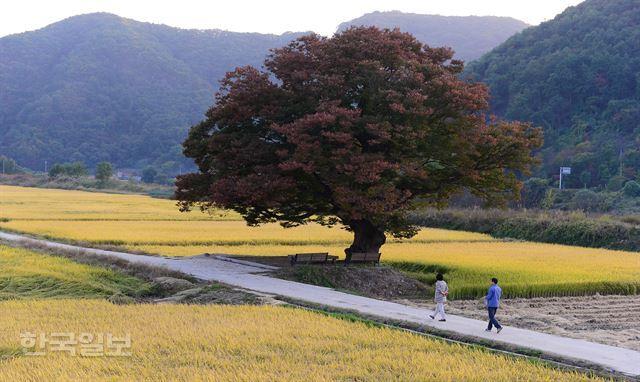 비움과 채움의 여행지, 원정리 느티나무