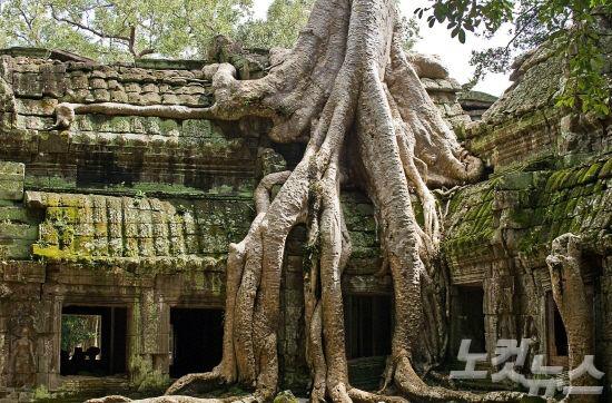 무성하게 자란 나무 뿌리가 감싸고 있는 따프롬 사원은 캄보디아의 인상깊은 명소 중 하나다.(사진=투어2000 제공)