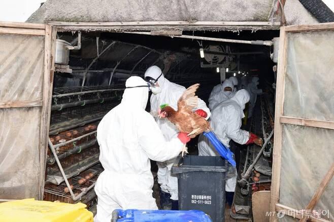 【김제=뉴시스】고석중 기자 = 27일 전북 김제시 용지면 신정리의 한 산란계 농장에서 사육하던 닭들에 대한 살처분 작업이 이뤄지고 있다. 지난 20일 고병원성 조류인플루엔자(AI)가 발생한 용지에는 64개 산란계 농장에서 닭 167만4000마리를 사육하고 있다. 시는 AI 발생농장 중심 보호지역(3㎞)내에 있는 이들 농장에 대한 예방적 살처분을 진행하고 있다. 2016.12.27.   k9900@newsis.com  <저작권자ⓒ 공감언론 뉴시스통신사. 무단전재-재배포 금지.>