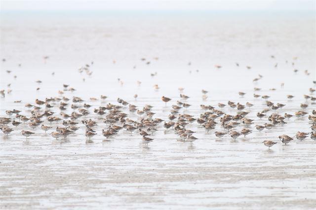봄철에 번식지로 북상하던 중 금강하구 유부도에 도래한 IUCN 멸종위기종 붉은어깨도요. 국립생태원 제공