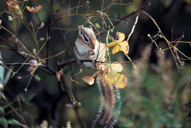 나무에 올라 열매를 따는 다람쥐. 다람쥐는 밤과 도토리 등 큰 열매뿐 아니라 작은 씨앗도 다량 거두어 저장하는 것으로 밝혀졌다. 클립아트코리아 제공.