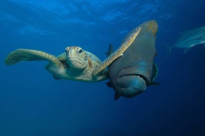 바다 부문 최우수상. 트로이 메인이 오스트레일리아 그레이트 베리어 리프에서 찍은 '청거북 대 '나폴레옹마오리놀래기'. 청거북이 놀래기를 젖히고 나아가고 있다.