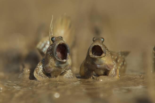 영국의 다니엘 트림이 타이 크라비에서 건진 작품 '짱뚱어가 탤런트가 됐다'. 짱뚱어 둘이 갯벌에서 영역 싸움을 하고 있다.