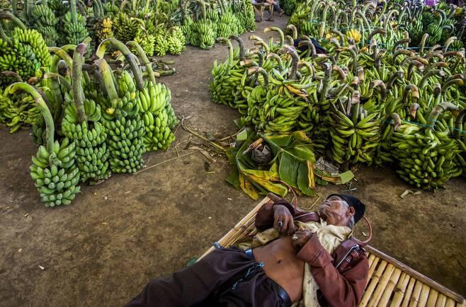 인도네시아 바나나 농장에서 농민이 고객을 기다리며 낮잠을 자고 있다. [연합뉴스]