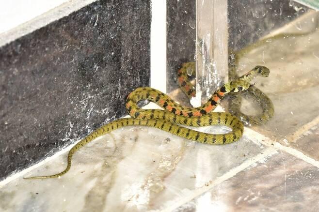 구조센터에 신고되는 뱀은 대부분 건물의 내부나 인공구조물에 들어와 고립된 채 발견되는 경우다. 건물 안에 들어온 유혈목이.