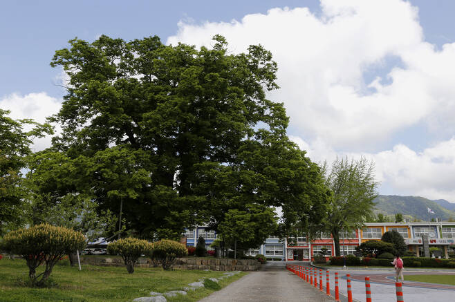 담양 한재초등학교의 느티나무. 태조 이성계가 전국을 돌아다니면서 공을 들일 때 심었다고 전해진다. 수령 600년으로 추정된다. 천연기념물 제284호로 지정돼 있다. ⓒ이돈삼