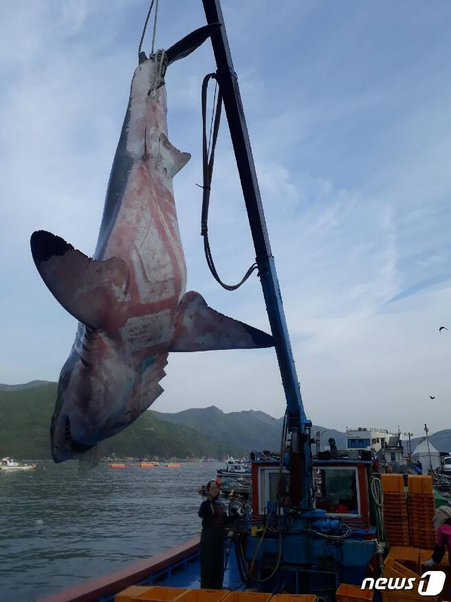 거제 앞바다에서 죽은채 발견된 백상아리(독자제공)© News1