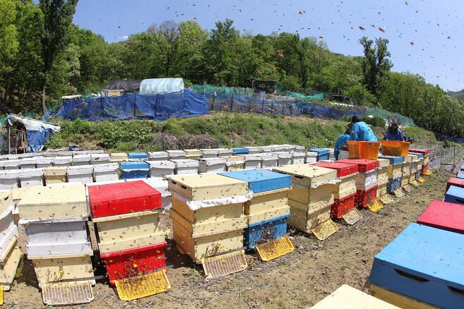 대구시 달서구 도원동 월광수변공원 인근 아카시아 군락지에서 양봉인들이 서양벌을 기르며 꿀을 채취하고 있다. [중앙포토]