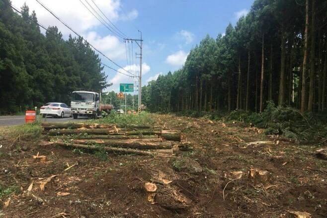 도로 확장을 위해 잘려나간 삼나무 군란 (사진=제주환경운동연합 제공)