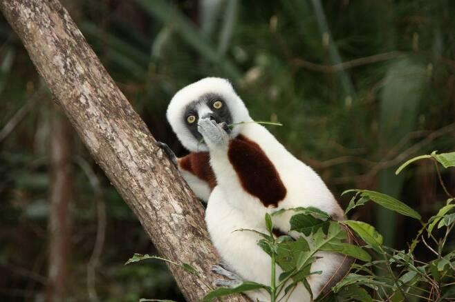 '나만 먹을랬는데….' 마다가스카르 여우원숭이 한 종인 코쿠렐시파카의 '깜놀'. 독일 Jacob Strecker.
