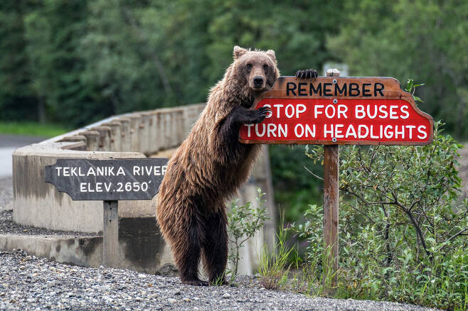 안전운전 안내는 불곰에 양보하세요. 알래스카 디날리 국립공원에서 미국의 Jonathan Irish가 찍었다.