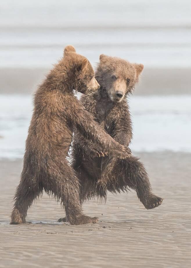 알래스카에 사는 어린 불곰 두 마리가 해변에서 춤을 추고 있다. 연습을 많이 한 듯 스텝이 척척 맞다. 원 제목은 탱고. 미국의 Michael Watts이 찍었다.