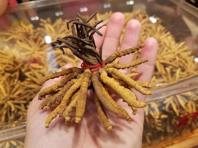 히말라야 고산지대에서 채집된 중국동충하초. 땅속에서 월동하는 나방 애벌레에 균류가 기생해 버섯으로 자란 것으로 귀한 한약재로 쓰인다. 켈리 호핑 제공.
