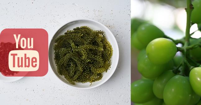 최근 유튜브에서 먹방 소재로 인기를 끌고 있는 바다포도(왼쪽)와 샤인머스켓(오른쪽)ⓒ소셜콘치