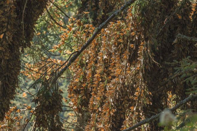 제왕나비는 그 숫자가 워낙 많기 때문에 이들의 숫자를 일일이 세지는 못 하고, 이들이 나뭇가지에 다닥다닥 달라붙어 겨울을 나는 숲의 면적을 통해 이들의 개체수를 추정한다. 플리커