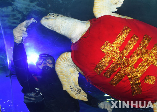 2018년 음력 정월4일(2월18일) 중 산둥성 칭다오 수족관에서 거북에게 먹이를 주고 있다    신화