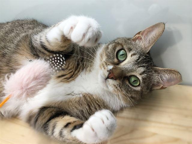 그린이는 다른 고양이들과는 잘 지내지 못한다. 반면 사람이 장난감으로 놀아주는 걸 제일 좋아한다. 카라 제공
