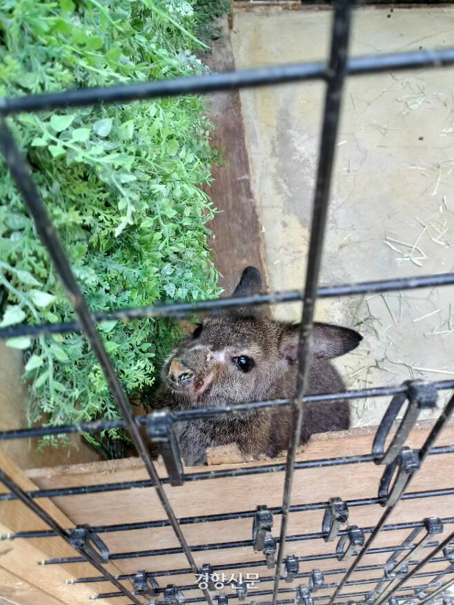 지난 10일 서울 마포구 한 동물카페 내 왈라비의 모습. 얼굴에 심한 염증을 앓고 있다. 김기범기자