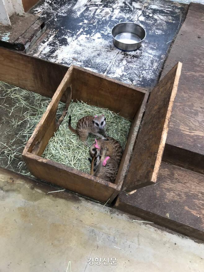 지난 10일 서울 마포구 한 동물카페 내 미어캣들의 모습. 김기범기자