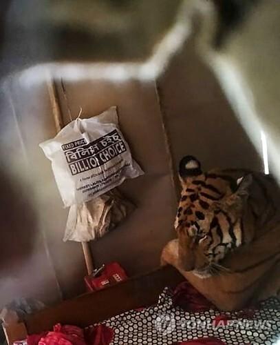 인도 가정집 침대에서 팔베개하고 '꿀잠' 자는 호랑이 [인도 야생동물보호협회(WTI) 제공·AFP=연합뉴스]