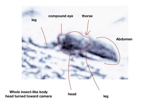 살아있는 곤충으로 제시된 이미지 카메라를 보고있는 눈과 머리, 가슴, 배, 다리 등이 표시돼 있다. 이미지내 다른 사물과 비교할 때 길이는 약 50㎝로 추정됐다. [윌리엄 로모저 제공]