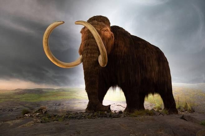 멸종된 털매머드의 자연수명은 60년으로 분석됐다. 캐나다 왕립브리티시컬럼비아박물관에 있는 털매머드 모형. 위키미디어 코먼스
