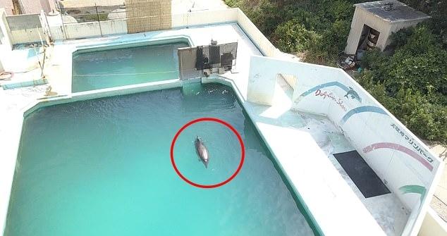 세상에서 가장 외로운 돌고래로 불리던 '허니'가 버려진 아쿠아리움의 작은 수조에서 홀로 헤엄치던 모습
