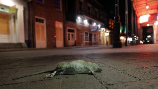 지난 3월 루이지애나주(州) 뉴올리언스의 빈 거리에 죽어 있는 쥐. 연합뉴스