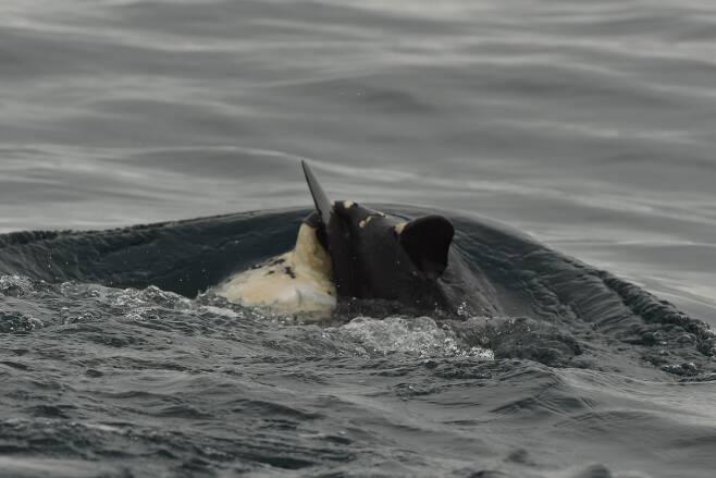 국립수산과학원은 최근 제주도 남방큰돌고래 조사에서 죽은 새끼를 등에 업고 다니는 어미 돌고래를 포착했다.