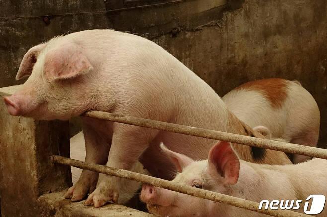 중국 랴오닝성의 한 돼지 농장 © 로이터=뉴스1 자료사진